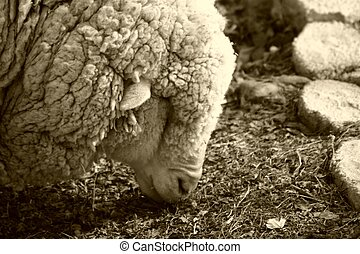 Sheep 3 - White faced rambouillet are a multipurpose breed...