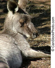 Kangaroo - eastern grey kangaroo sleeping
