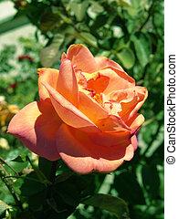 Peach Rose - Peach colored Rose