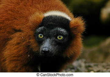 Red lemur - A rather ugly red lemur
