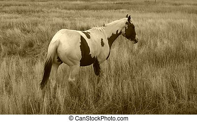 Paint Horse - Paint horses were highly valued in the old...