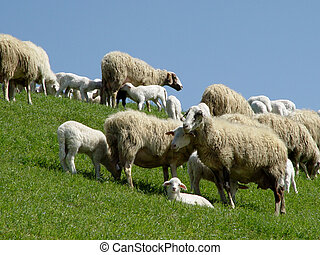sheep with lambs - herd on a hill