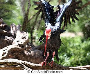 Northern bald ibis (Geronticus eremita) has undergone a...