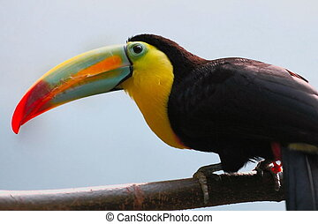 Keel Billed Toucan - keel billed toucan