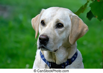 Hungry Dog - Portrait of drooling labrador retriver waiting...