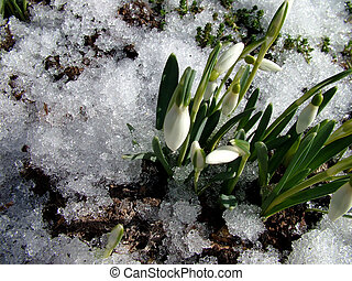 Spring comes - Snowdrop, first spring flower