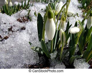 First flower, spring - Detail of snowdrop