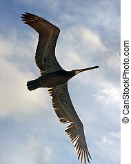Bird in flight - Pelican in flight