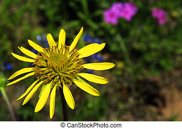 Blueweed - Latin: Helianthus ciliaris, Blueweed is a member...