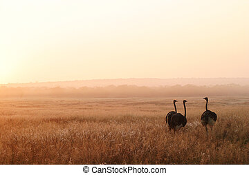 Three Ostriches - Three ostriches warming up in the first...