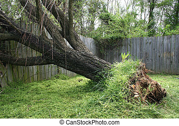 Fallen Willow Tree - Large willow tree fallen into old...