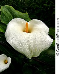 Rain on Lilys - Rain Droplets on Calla Lilys