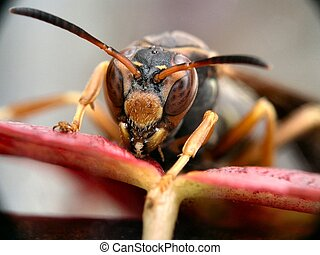 Staring contest - Super macro of a hornet ready to attack...