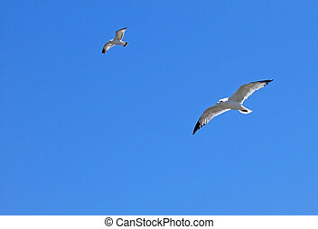 Gulls in Flight - Two seagulls in flight against beautiful...