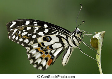 Citrus Swallowtail - Profile of a citrus swllowtail...