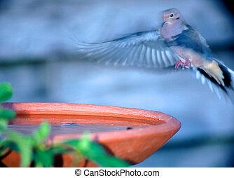 Landing at Bird Bat - A morning dove landing at a bird bath