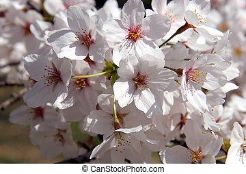 Cereza, árbol, flor