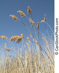 Meadow Reeds - This is a shot of meadow reeds against a nice...