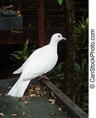 Dove - White Dove