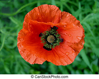 Wet Poppy - just a wet poppy