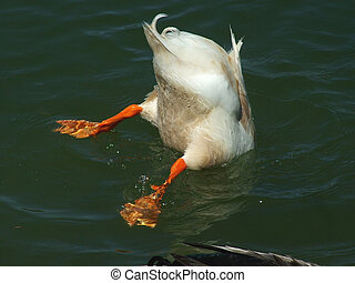 Bottoms Up - White Duck diving, tail feathers up