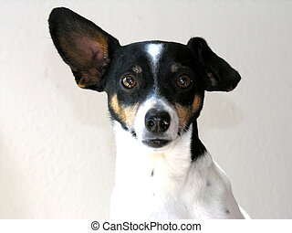 Dog rat terrier - Rat Terrier with one ear standing
