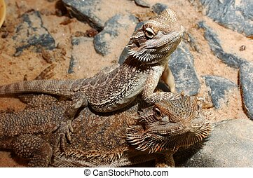 Pogona vitticeps, Australian bearded dragon.