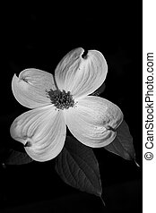 The Dogwood Bloom - Solitary Dogwood Bloom in Black and...