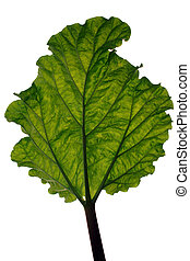 A backlit leaf on white - A backlit rhubarb leaf on white