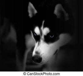 Husky - low key, husky lurking