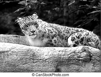 Snow Leopard, sitting on rock