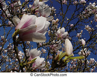 magnolia tree - blossoms of a spring tree