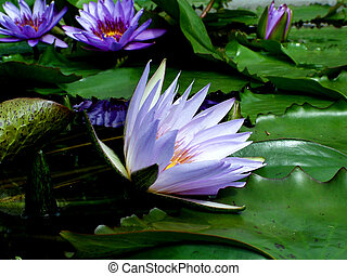 Water Lily - Digital photo of a water lily