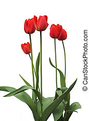Long-stemmed red tu - isolated red tulips with long stems on...