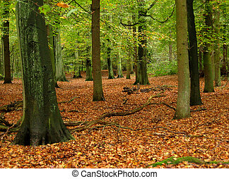 woodland with beeches in beginning of autumn