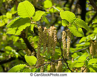 Nutwood - Blooming nutwood with catkins