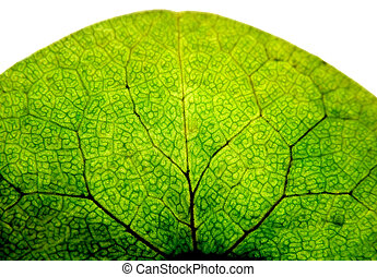 Leaf isolated - Leaf macro, isolated