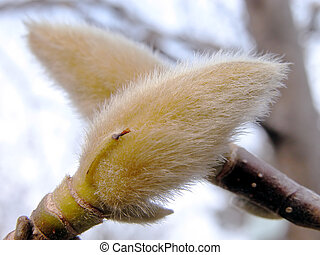 Magnolia Buds - Magnolia buds detail