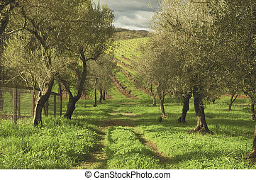 Olive Grove - The wet and rainy California spring produced a...