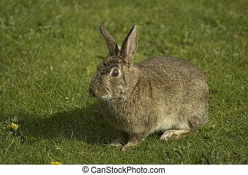 wild rabbit - a wild rabbit