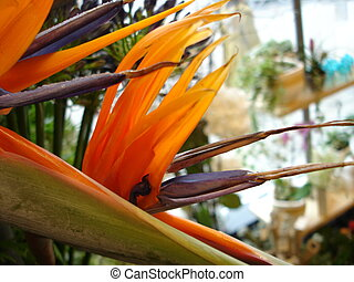 strelizia - bird of paradise flower