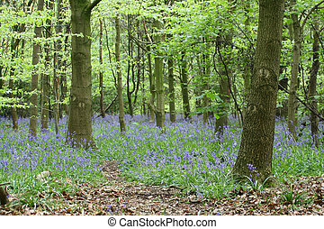Bluebell wood - A beautiful bluebell wood in springtime