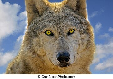 The Eyes - Close up of a wolf showing the clarity stare of...