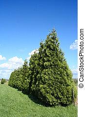 Trees - A row of cedar trees