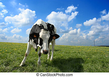 Curious cow - A curious cow in a green field A cloudy sky at...