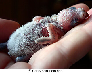 Baby Budgie - A 2 week old baby budgie sleeping in a hand
