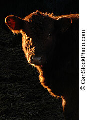 Brown cow - Sidelit brown cow