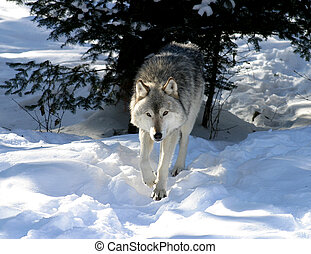 TIMBER WOLF WINTER