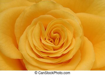 yellow rose - soft closeup of yellow rose