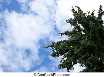 Spruce and Clouds - A blue spruce against a cloudy sky. It...